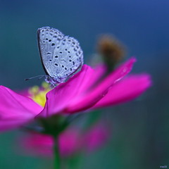 Pale grass blue on Cosmos - by Maki_C30D