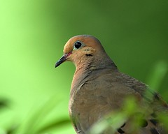 Mourning Dove (Momba (Trish)) Tags: bird ilovenature nikon nikond70 dove mourningdove nikkor momba interestingness234 i500 nikonstunninggallery specanimal abigfave explore14oct2006 commonnamemourningdove scientificnamezenaidamacroura