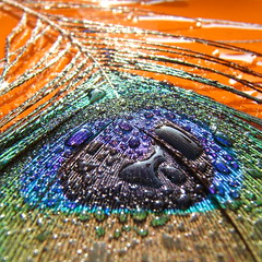 Fallen......................... (ANDI2..) Tags: macro love water beautiful beauty wow wonder drops bravo searchthebest gutentag feather peacock 100v10f altruism coolest gtaggroup abigfave