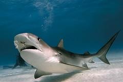 Tiger Shark (Lars Kirchhoff) Tags: shark bahamas tigershark outstandingshots specanimal animalkingdomelite abigfave