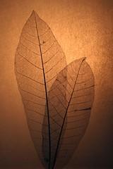 SH_34_Ed (bob o'mahoney) Tags: feathers seedpods bccuk