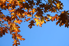 Oak Leaves & Blue Sky (wanderingnome) Tags: park autumn fall leaves oak blackoak losalamos santabarbaracounty theworldthroughmyeyes thebiggestgroup ©wanderingnomez 102206