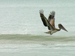 Pelican Takes Off (Old Shoe Woman) Tags: ocean usa bird beach pelicans gulfofmexico water birds florida waterfowl fallbreak capesanblas birdsfishing