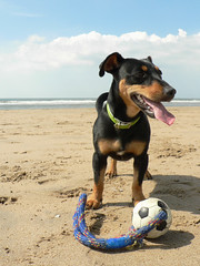 Dog, ball, sea (Yolande...) Tags: sea dog holland ball maria zee hond explore bal 173 ijmuiden