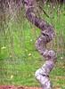 weeping birch (Muffet) Tags: autumn tree curvy birch utatathursdaywalk28