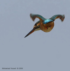 KingFisher (dawey [Mohammad Alhameed]) Tags: bird nature birds canon wildlife kingfisher usm common  400mm picturecollection vwc animaladdiction   kuwaitvoluntaryworkcenter  photovwc kuwaitvwc