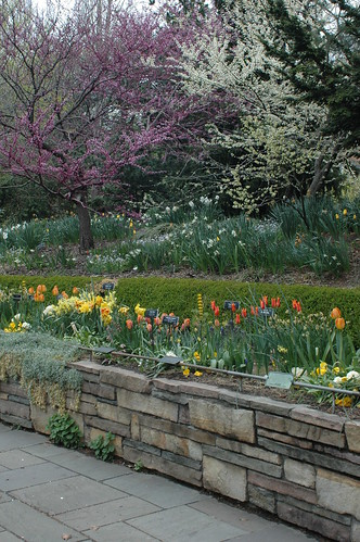 Redbuds and Spring Bulbs in the Fragrance Garden