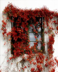Window in red ( B i b b i ) Tags: autumn red fall window catchycolors sweden stockholm explore sverige creepers hst parthenocissus ilmuro rd fnster blackeberg interestingness22 i500 explore30oct06 vildvin ljunglfskaslottet redforthepeopleofburma ljunglfskaparken
