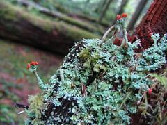 IMG_3712 (Amanda J G) Tags: flower oregon mthood mossy