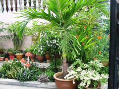 Potted Manila Palm, among others in our front yard garden