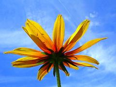 Memories Of Springtime (suesue2) Tags: blue sky sunshine spring backyard bravo michigan wildflower abigfave p1f1