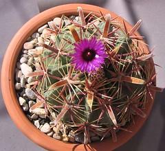 Ferocactus Latispinus (Margui.) Tags: cactus ferocactus latispinus