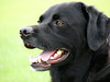 Labrador Retrievers - The most poplular dog in the world.