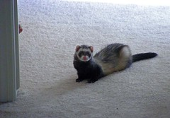 Can you spot the hidden Peanut? (revlimit) Tags: home ferret buttercup hide peanut cuteness woozles nikons10
