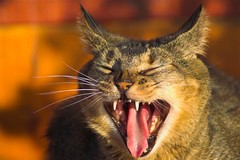 HA HA HA HA! (Mark Veitch) Tags: smile tag3 taggedout cat feline tag2 tag1 teeth ears laugh toungue fangs abyssinian oats wiskers canines animaladdiction specanimal 123ac abigfave gggsmile