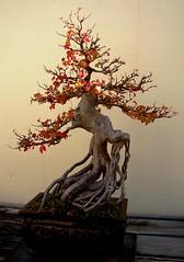 Bonsai Trident Maple (Cowtools) Tags: autumn red fall washingtondc maple bonsai nationalarboretum october2006 interestingness222 i500 tridentmaple