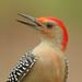 Red-Bellied-Woodpecker-Protrait-ILK©