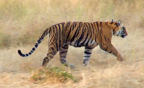 Tigre en el parque de Ranthambore, en la India