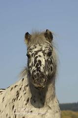 _LE28319 (Lothar Lenz) Tags: portrait horse poster caballo cheval herbst cover kalender cavallo cavalo pferd hest equus paard shetlandpony titel hst hestur konj hobu zirgs lotharlenz tigerschecke