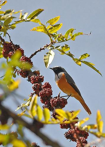 Hodgson's Redstart (Phoenicurus hodgsoni)