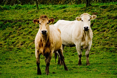Cows (PW74) Tags: netherlands cow nationalpark cows biesbosch koe koeien pw nationaalpark 2170 thecontinuum 2444 pw74 eartag2444 eartag2170