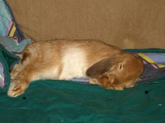 Sleeping (Sjaek) Tags: sleeping pet pets cute rabbit bunny sweet konijn adorable fluffy boef