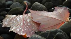 Fall Leaves at Microsoft Redmond