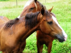 horse_h (Mixxie Sixty Seven) Tags: horses horse misty rural countryside vermont farm newengland august barnard chestnut pastoral equine palomino equines southernvermont