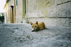 territory (*shinobu) Tags: yellow zeiss cat fuji malta kyocera tproof explored maltacat