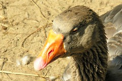 I wouldn't say boo to the goose ([martin]) Tags: bird nature martin goose poultry fowl gander greylaggoose fowls poult martinbiskoping