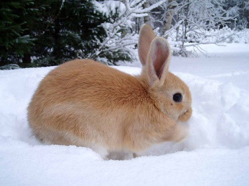 A tawny bunny playing in the snow, viewed from the side.