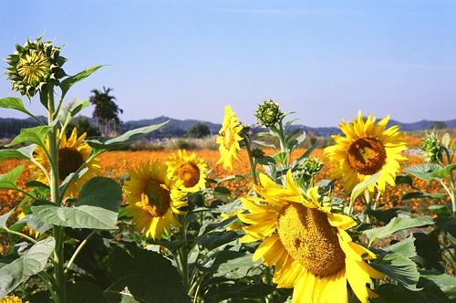 KONICA_S2_AUTO_Sunflower