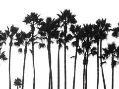 long line of leavers (ansy) Tags: california trees bw usa silhouette la losangeles row palm line palmtrees lookatme height kiss2 kiss3 123bw kiss1 kiss4