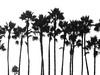 long line of leavers (ansy) Tags: california trees bw usa silhouette la losangeles row palm line palmtrees lookatme height kiss2 kiss3 123bw kiss1 kiss4