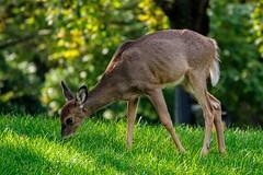 Grazing (brev99) Tags: tamron70300vc d90 deer grass backyard bokeh green highqualityanimals topazdenoise perfecteffects10 ononesoftware