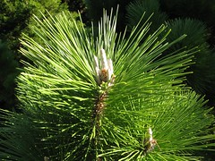 image Pinus thunbergii candles