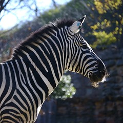 Striped Horse Head (David G Photography) Tags: zebra grantszebra seenability