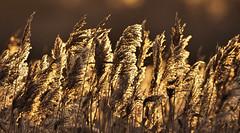 reeds (Tim Gardner pics) Tags: