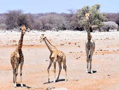 Under threat. (pstone646) Tags: giraffe animals nature wildlife fauna africa namibia trio