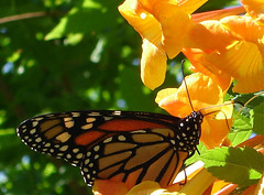 Danaus Plexippus (oybay) Tags: flowers orange flower macro butterfly insect inflight monarch upcloseandpersonal monarchbutterfly orangeflowers orangetrumpetflowers orangejubilee