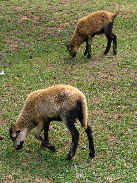 Sequoyah Cavern Sheep