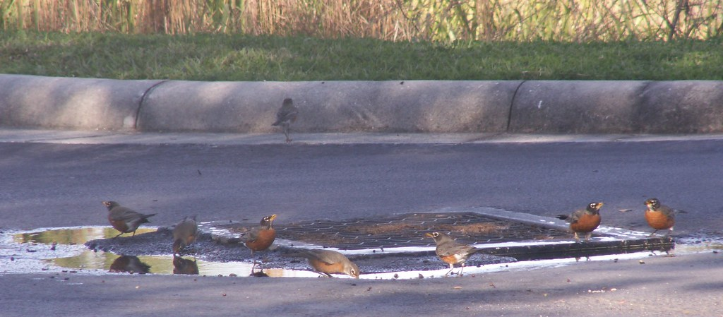 Robins 'Round the Drain Puddle