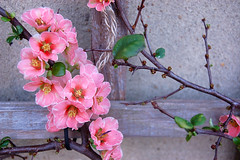 J'ador (I Love Q8) Tags: pink flower nikon photooftheday 21jan2007 slickrframe beautyincreationwinner augusthappinesschallenge