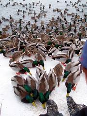 Queen of the Ducks