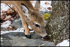 Eating Acorns ([Christine]) Tags: virginia backyard deer buck whitetail animalkingdomelite anawesomeshot impressedbeauty wowiekazowie