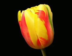 Tulipa ( Graa Vargas ) Tags: red flower yellow blackground tulip tricolor tulipa graavargas 2007graavargasallrightsreserved 33611290709