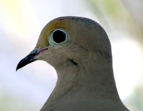 another Mourning Dove in our backyard.jpg (Zenaida macrourna)