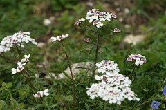 534544143 Candytuft 2007-06-06_18:49:47 Aston_Rowant
