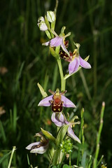548702220 Bee_Orchid---Typical 2007-06-13_18:24:30 Farmoor_Reservoir