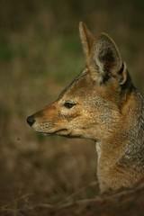 Jackall portrait (hvhe1) Tags: africa tanzania wildlife safari hennie jackall hvhe1 hennievanheerden